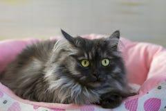 Chat pelucheux et gris sur le lit pliant Image libre de droits
