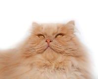 Chat pelucheux et rouge Photographie stock libre de droits