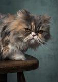 Chat pelucheux grincheux Photographie stock libre de droits