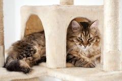 Chat pelucheux mignon Photographie stock libre de droits