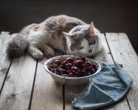 Chat pelucheux se trouvant sur une table en bois et regardant tristement une tasse de cerises image libre de droits