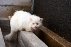 Chat persan à cheveux longs blanc léchant son nez avec la langue images stock