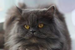 Chat persan Photo stock