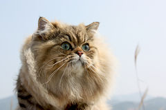 Chat persan Image stock