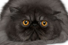 Chat persan, 19 mois Image stock