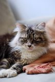 Chat persan Photos libres de droits