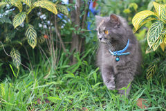 chat persan Photo libre de droits