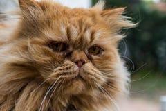 chat persan Photographie stock libre de droits