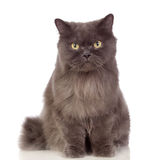 Chat persan adorable   Photographie stock