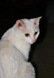Chat persan avec le fond noir Image stock