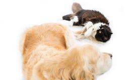 Chat persan avec un chien Photo stock