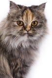 Chat persan de chinchilla Photographie stock libre de droits