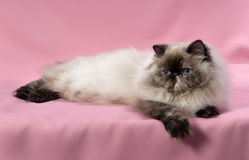 Chat persan de colorpoint de tortie de sceau Photo stock