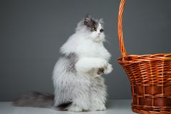 Chat persan drôle se reposant près du panier sur le gris Photo stock