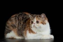 Chat persan exotique avec de grands beaux yeux sur le fond noir photos stock
