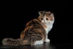Chat persan exotique sur l'animal familier noir de fond avec de grands yeux photos libres de droits