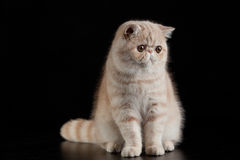 Chat persan exotique sur le chat noir de fond avec de grands yeux photographie stock libre de droits