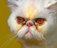 Chat persan fâché image stock