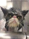 Chat persan obtenant un bain chez un chat humide gris de chat grincheux de plots réflectorisés de baquet photos stock