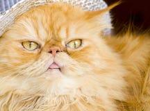 Chat persan rouge avec le chapeau Photographie stock libre de droits