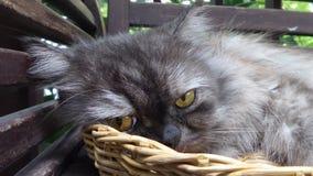 Chat persan somnolent tatillon contrarié dans le panier en bambou Photo libre de droits