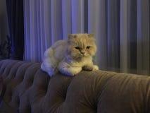 Chat persan sur un sofa Images libres de droits