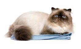Chat persan toiletté mignon de colourpoint de joint sur une serviette bleue photographie stock libre de droits