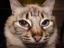 Chat Petite beauté avec des yeux bleus photographie stock