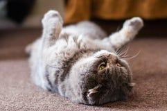 Chat plié écossais d'oreilles se couchant sur le plancher photo stock