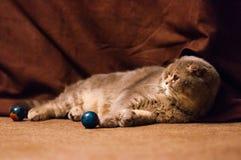 Chat plié écossais d'oreilles se couchant sur le plancher image libre de droits