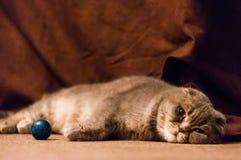 Chat plié écossais d'oreilles se couchant sur le plancher photographie stock