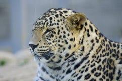 Chat pointillé - léopard Image stock