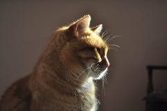 Chat posant avec la lumière du soleil sur le hhim Photographie stock
