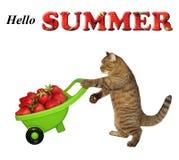 Chat poussant une brouette avec des fraises image stock