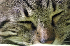 Chat qui dort Photos stock