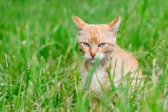 Chat réfléchi se reposant dans l'herbe et les montres photographie stock