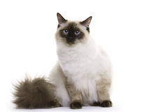 Chat, Ragdoll photographie stock