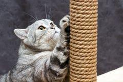 Chat rayé écossais de shorthair gris rayant le courrier brun photos stock