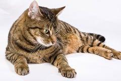 Chat rayé détendant avec un fond blanc Photo libre de droits