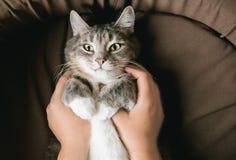 Chat rayé gris avec la main du ` s de femme dans le lit brun image libre de droits