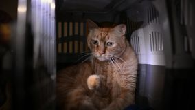 Chat rayé orange mignon emprisonné dans une cage en plastique d'animal familier clips vidéos