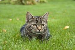 Chat rayé se situant dans l'herbe Image libre de droits