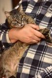 chat rayé sur des mains Images libres de droits