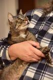 chat rayé sur des mains Photographie stock