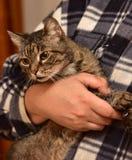chat rayé sur des mains Photos stock