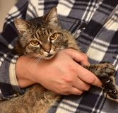 chat rayé sur des mains Image libre de droits