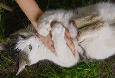 Chat rayant la main humaine sur le fond d'herbe verte d'été Photos stock