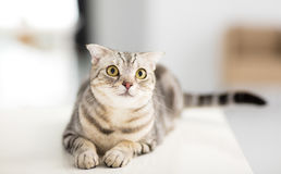 chat recherchant dans le salon Photo libre de droits