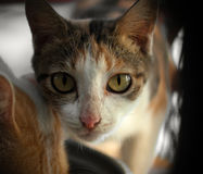 Chat regardant l'appareil-photo Images libres de droits