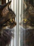 Chat regardant sa propre réflexion dans la fenêtre Photographie stock libre de droits